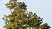 Pin blanc (Pinus strobus)